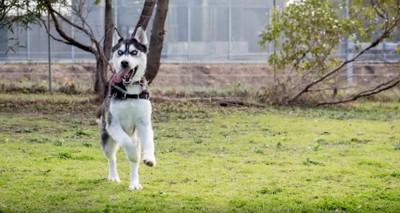 走るハスキー犬