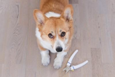 爪切りを怖がる犬