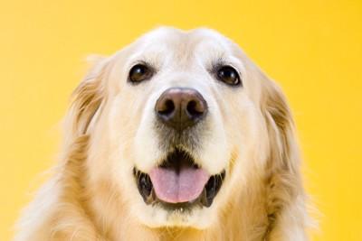 微笑むゴールデン、黄色い背景