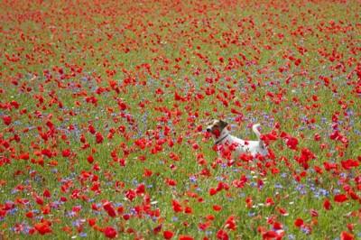 花畑で楽しそうな犬
