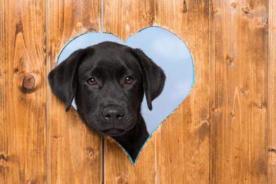 ハートの穴から顔を出すラブラドール・レトリーバーの子犬