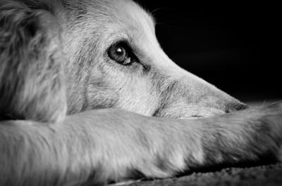 フセをする犬の横顔(モノクロ)