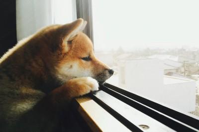 窓から外を眺める子犬