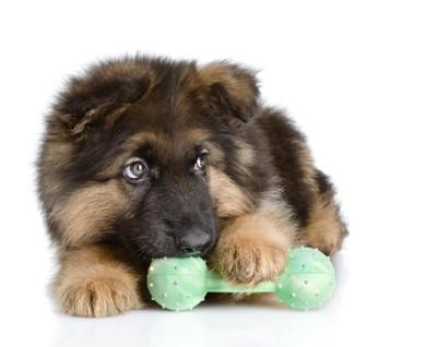 子犬とダンベルのおもちゃ