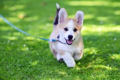 散歩しているコーギーの子犬