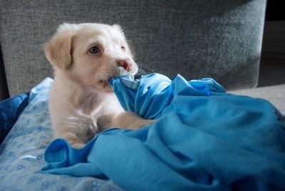 青い布を噛む犬