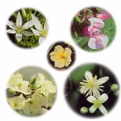 レスキューレメディの5つの花の写真
