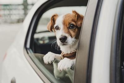 車の窓に両手を置いて顔を出す犬