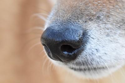 柴犬の鼻の写真