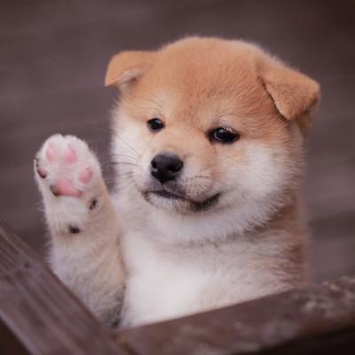 挙手する柴犬の子犬