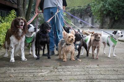 たくさんの犬を連れたペットシッター