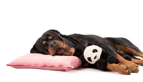 パンダのぬいぐるみを抱いて寝るロットワイラー