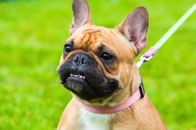 歯を剥き出すリードをつけた犬