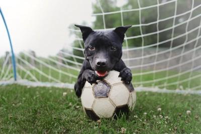サッカーボールを抱える犬