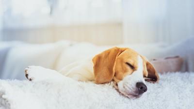 布団の上で寝ているビーグル犬