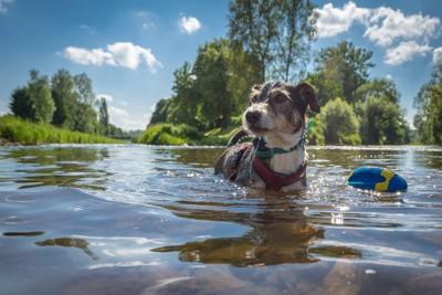 夏に川で元気に遊ぶ犬