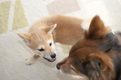 喧嘩しているような柴犬のパピーと中型犬