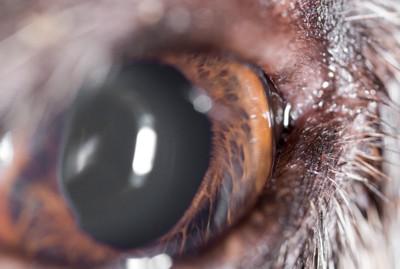 犬の眼球アップ