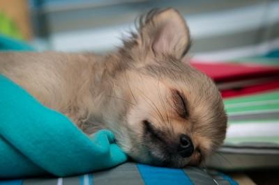 Resultado de imagen para 犬  chihuahua 眠っている