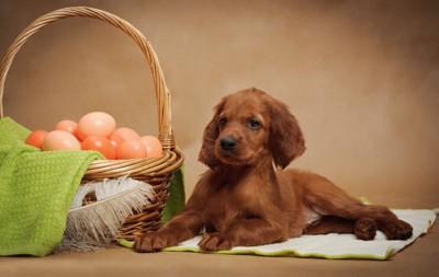 卵の入ったバスケットと犬