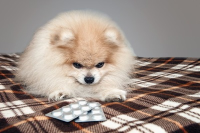 錠剤の薬を見るポメラニアン