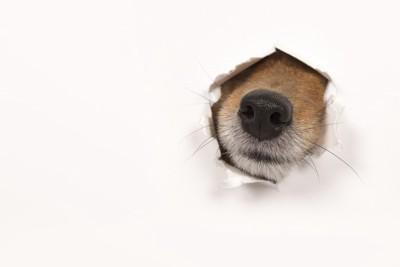 壁から鼻を出す犬