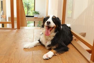 階段の前に伏せている犬