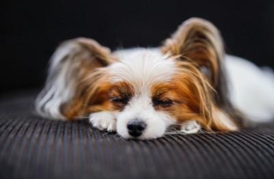 パピヨンの寝顔