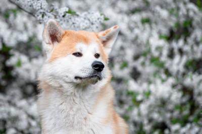 花のそばに座る秋田犬