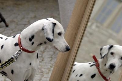 鏡を見つめるダルメシアン