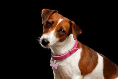 首輪を付けた犬