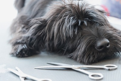 ハサミに囲まれている犬