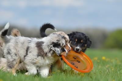 ディスクを取り合う子犬たち