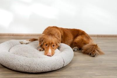丸いベッドに手と顔を乗せている茶の犬