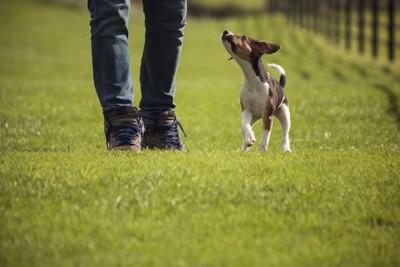 飼い主を見ながら芝生を歩く子犬
