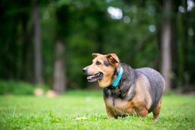 芝生を歩く青い首輪の犬