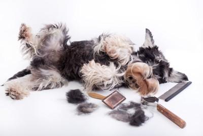 グルーミング器具と横になっている犬