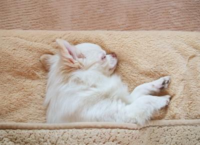 布団をかけて眠っているチワワ