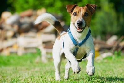 目を輝かせて走る犬