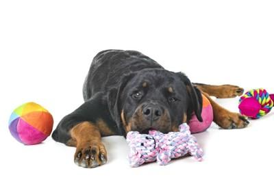 寝そべる犬とオモチャ