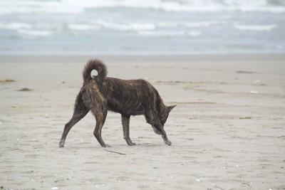 浜辺を歩く野良犬