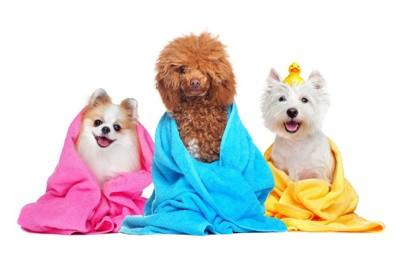 タオルに巻かれた3頭の犬