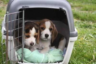 クレートに入った二匹のビーグル犬