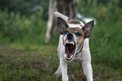 激しく威嚇する犬