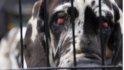 目が真っ赤になっている犬