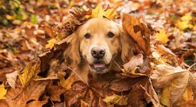 落ち葉からこちらを見つめる犬