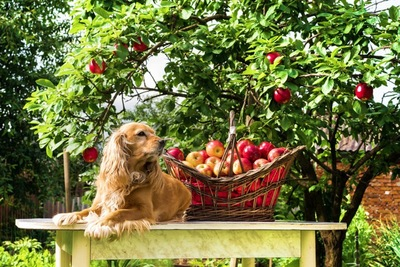 リンゴ畑で伏せている犬