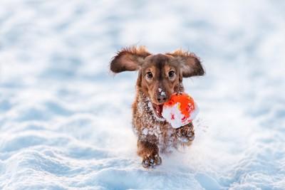 雪遊びするダックス