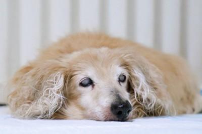 横になっている犬の写真