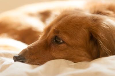 眠ろうとしている犬